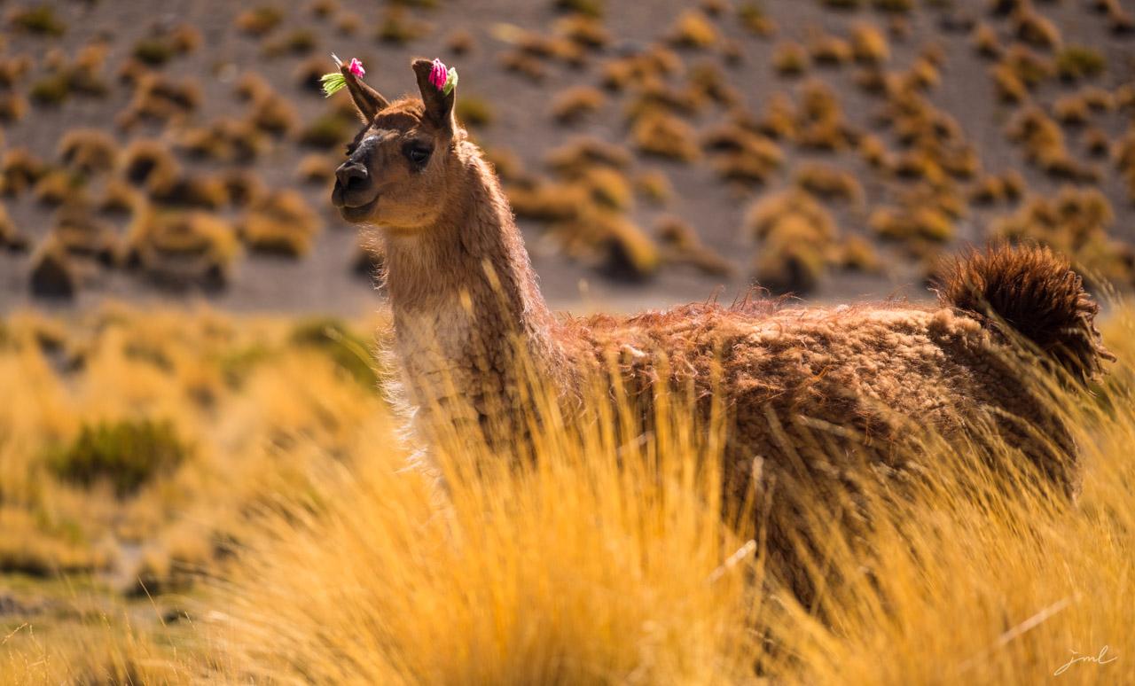 Lama de Bolivie – Bolivian lama